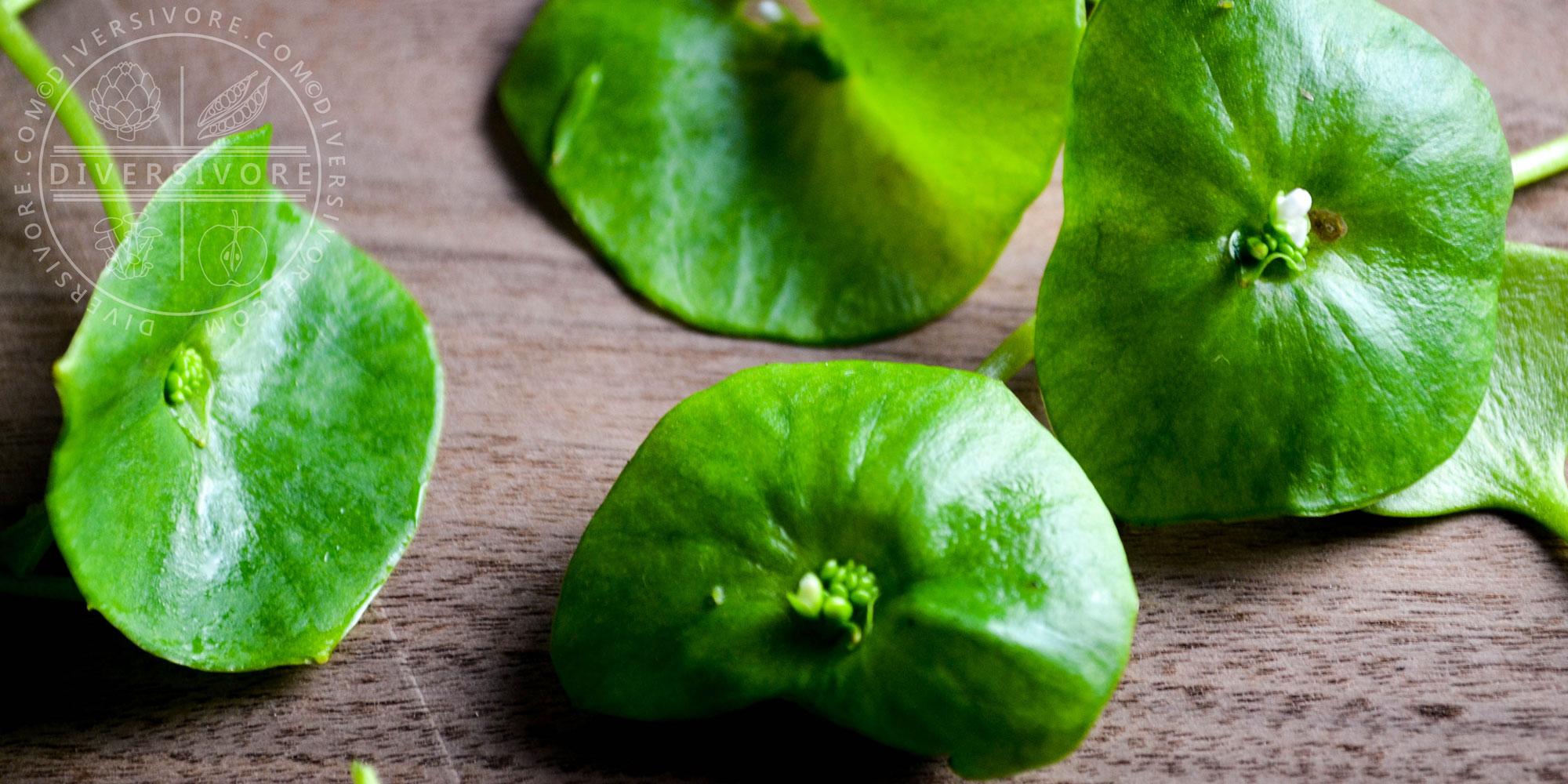 Miner's Lettuce (Claytonia perfoliata) cauline leaves and flowers - Diversivore.com