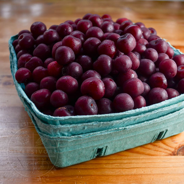 Sour cherries in a large container